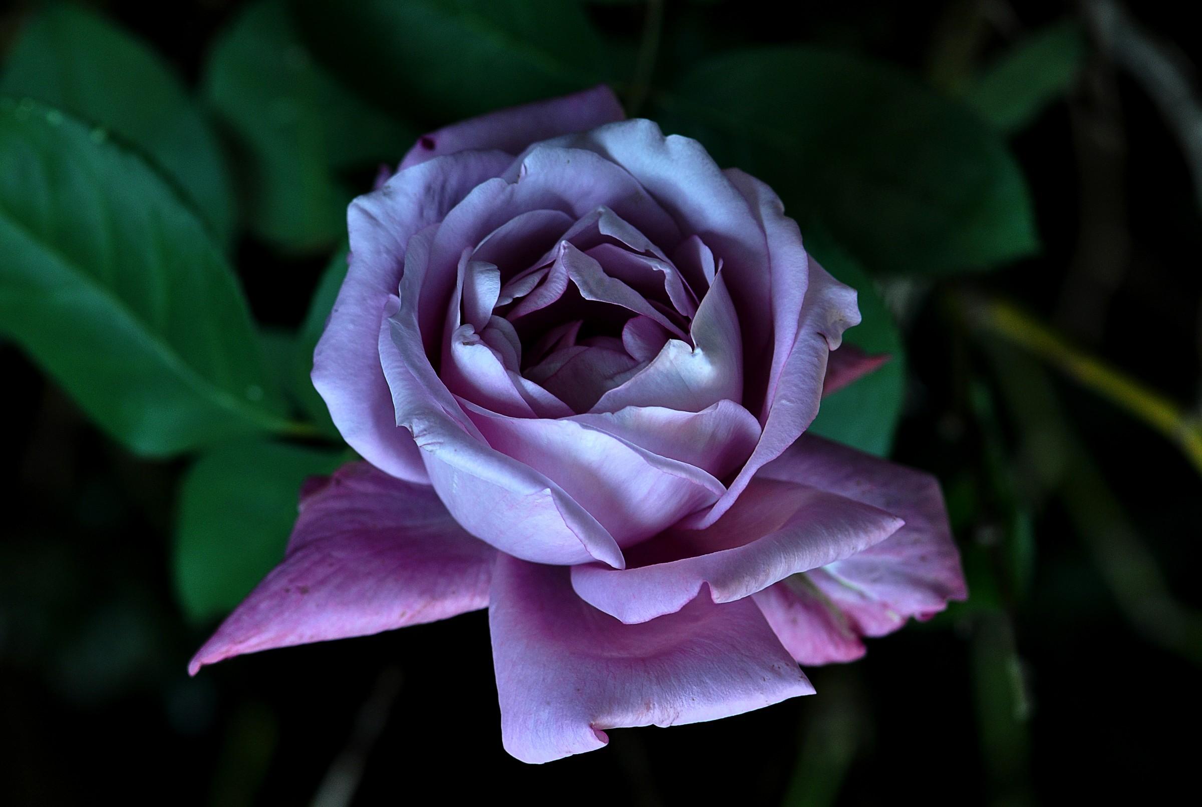 """Rose """"Eminence""""..."""