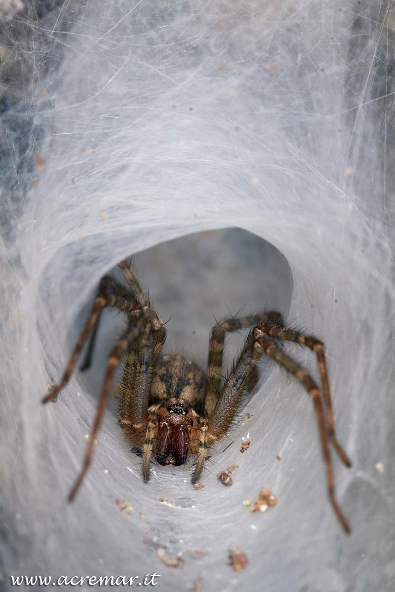 # Arachnida Tegenaria...