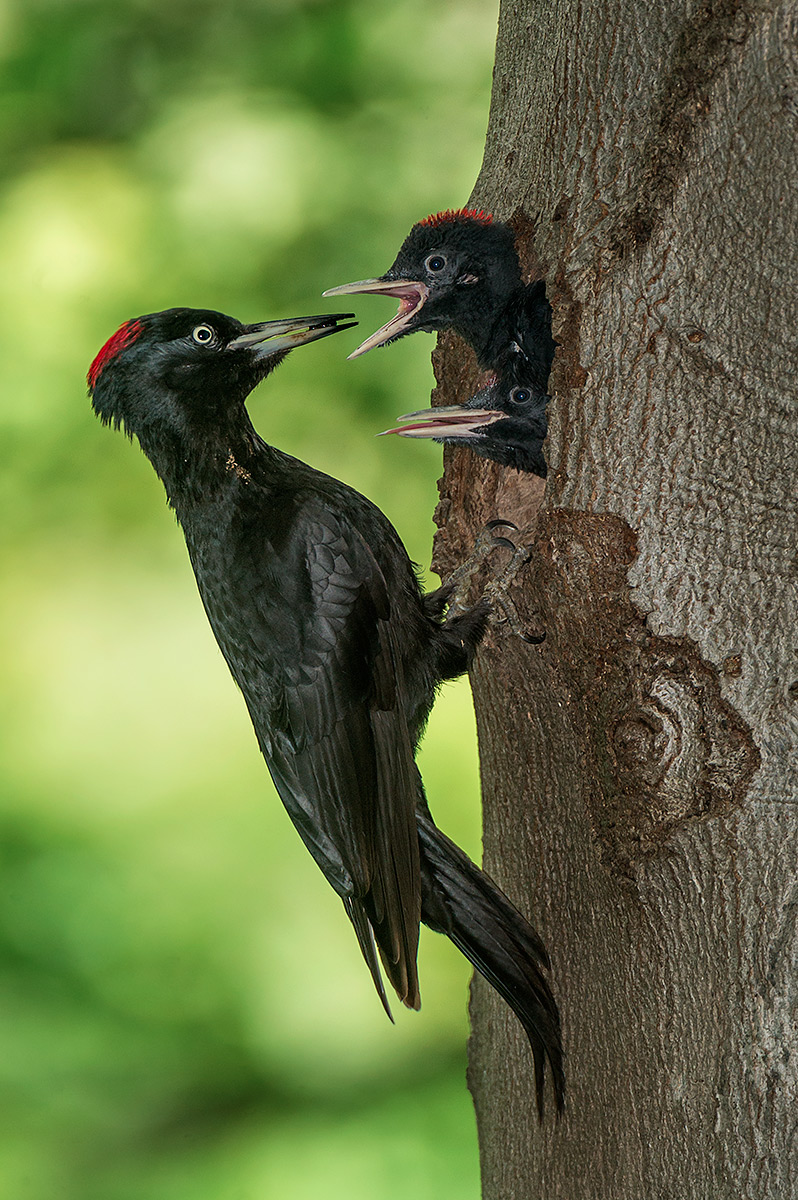 Black Woodpecker female...