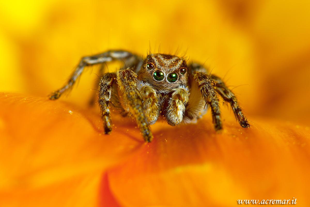 #Arachnida Aelurillus v insignitus...