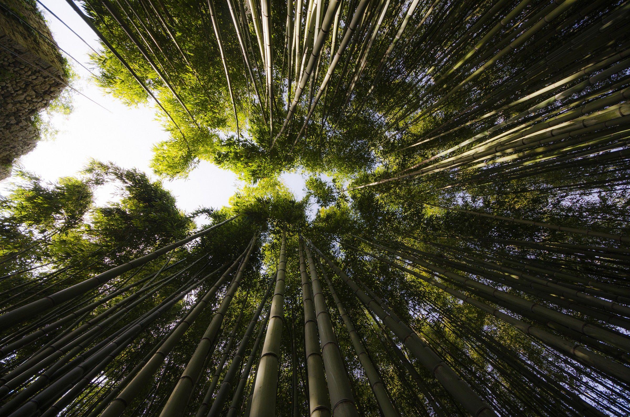 Bambu juzaphoto for Bambu giardino