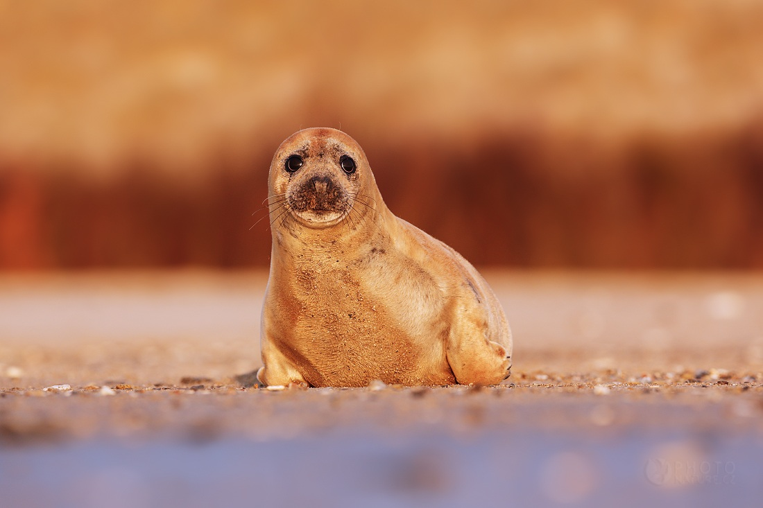 Harbor Seal...