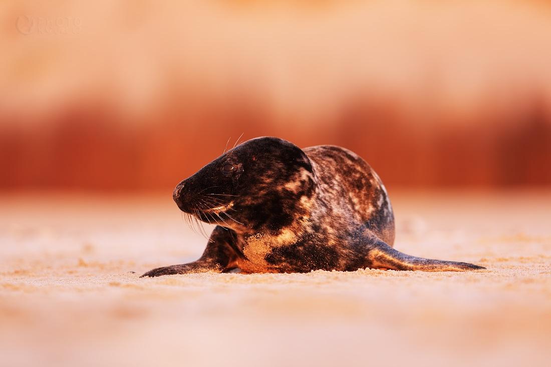 Atlantic Grey Seal...