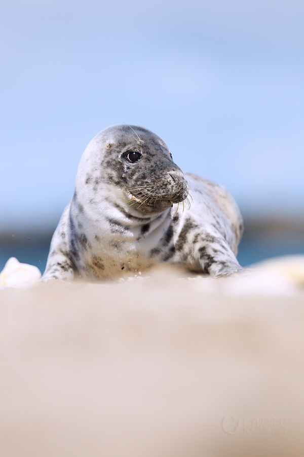 Atlantic Grey Seal...
