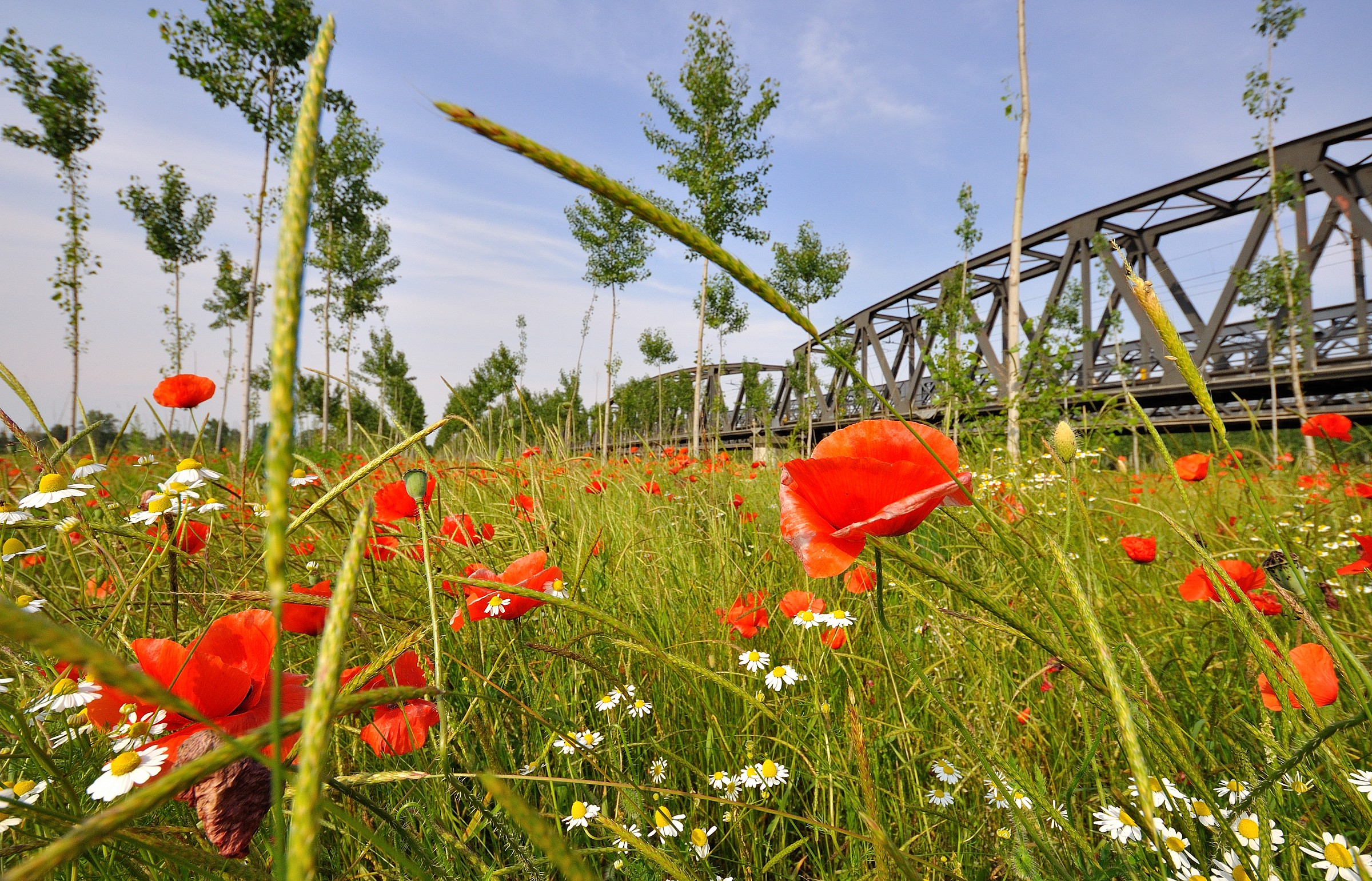 Poppies and ..........