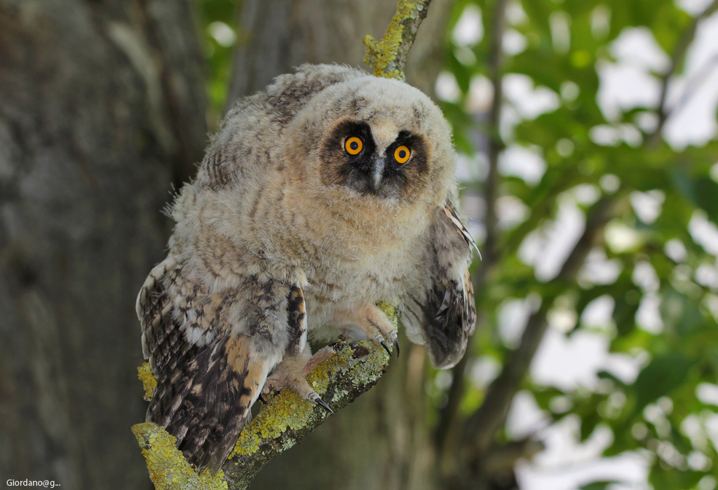 """""""Young Owl ...""""..."""