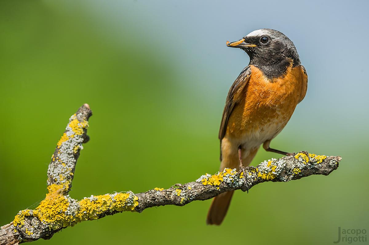 Redstart male...