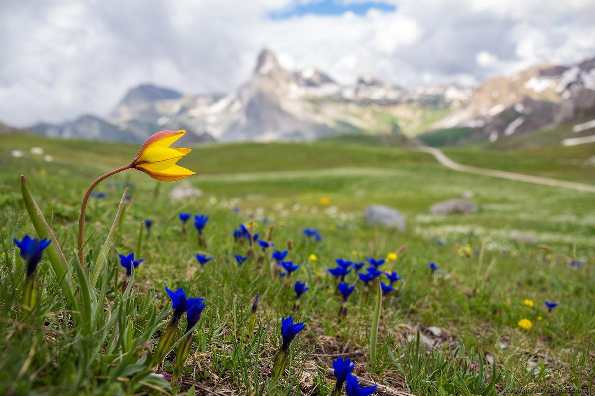 Tulipa sylvestris subsp. australis (Tulipano montano)...