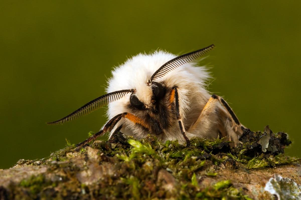 Ermellino bianco Spilosoma lubricipeda...