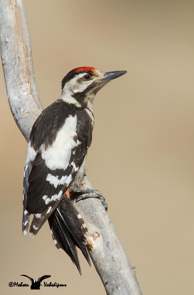 Syrian Woodpecker...