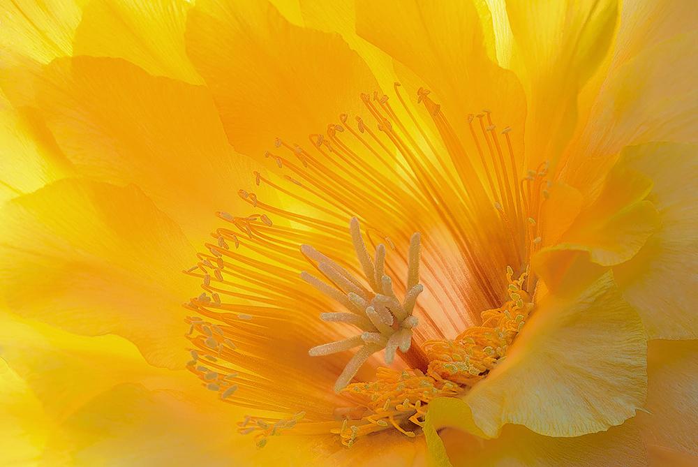 Cactus flower at dawn....