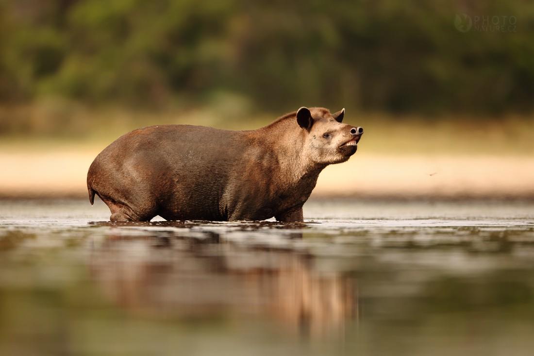 Tapir from Pantanal...