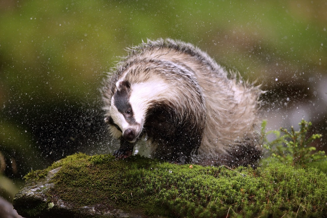 The European badger...