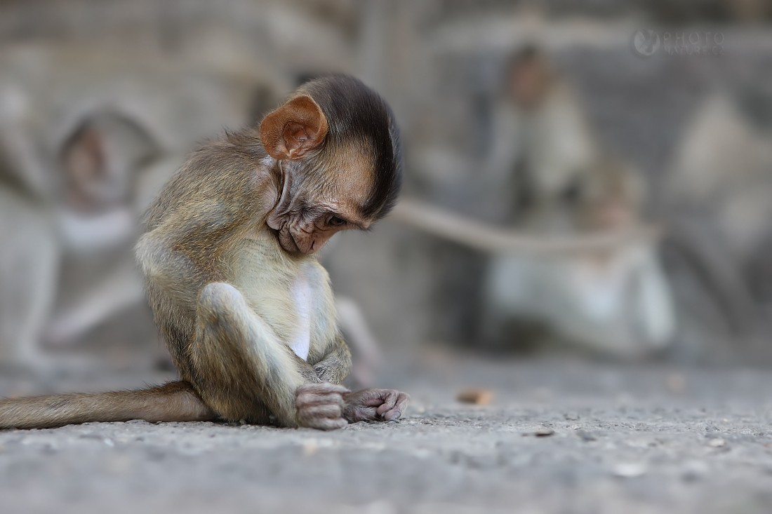 The crab-eating macaque...