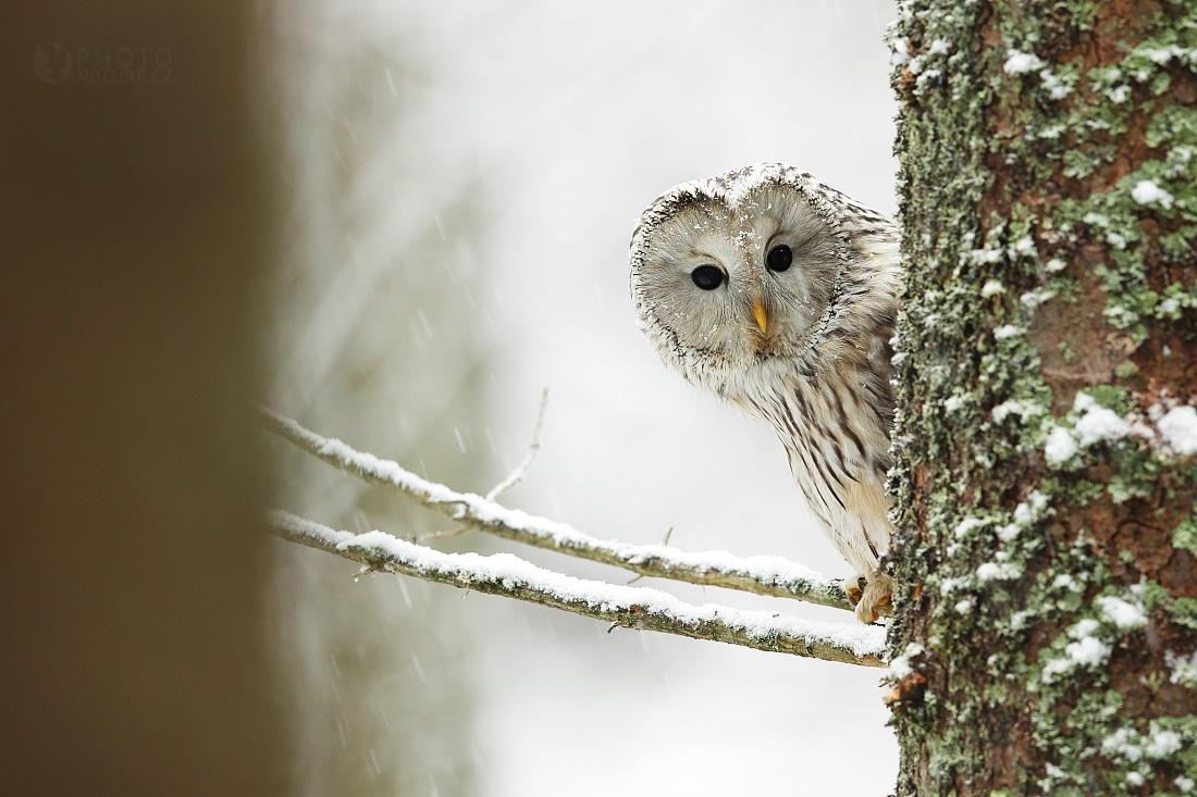 Ural Owl...