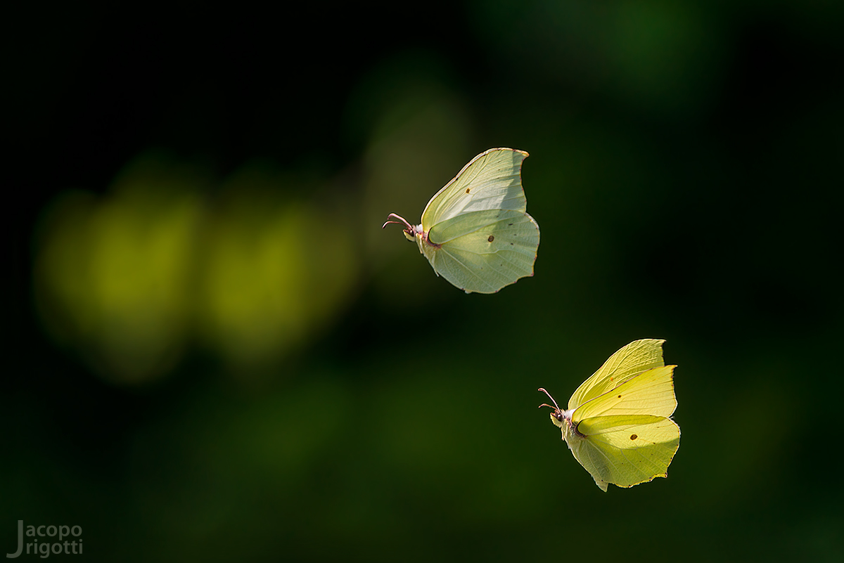 Gonepteryx rhamni...