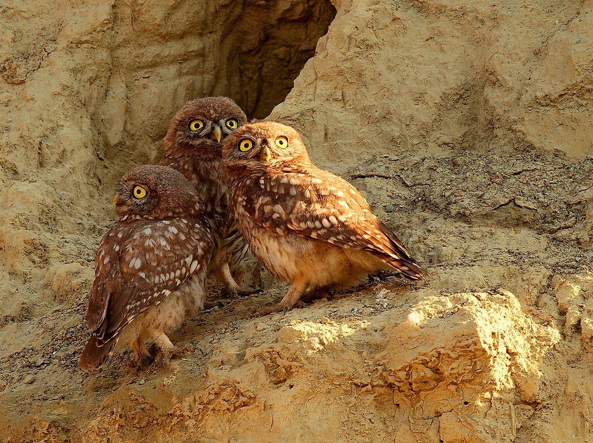 three owls on the dresser '...