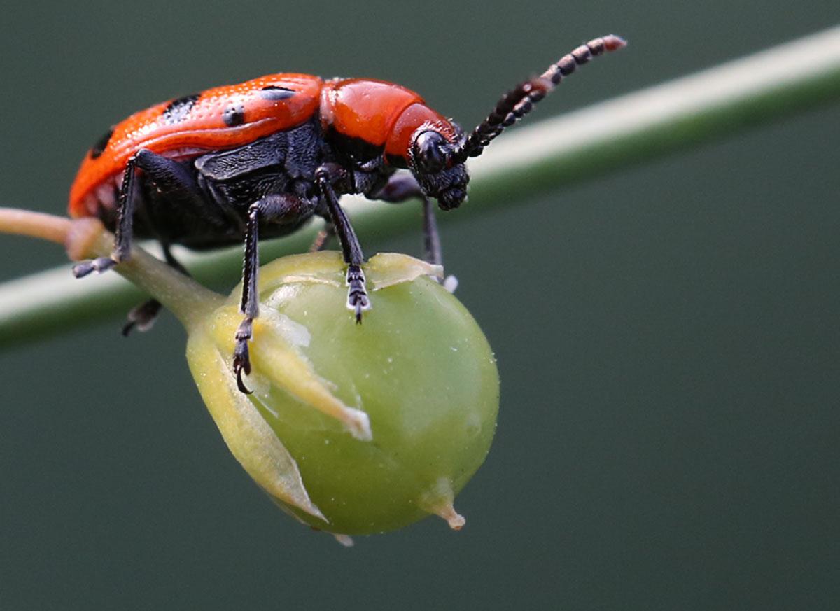 coleoptera...