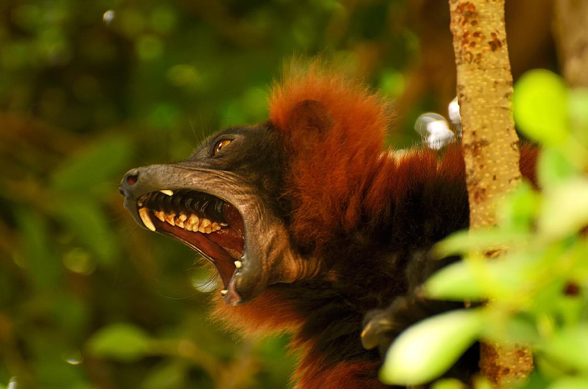 Lemur...