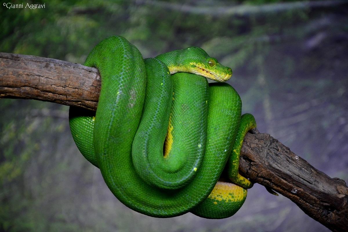 Green python...
