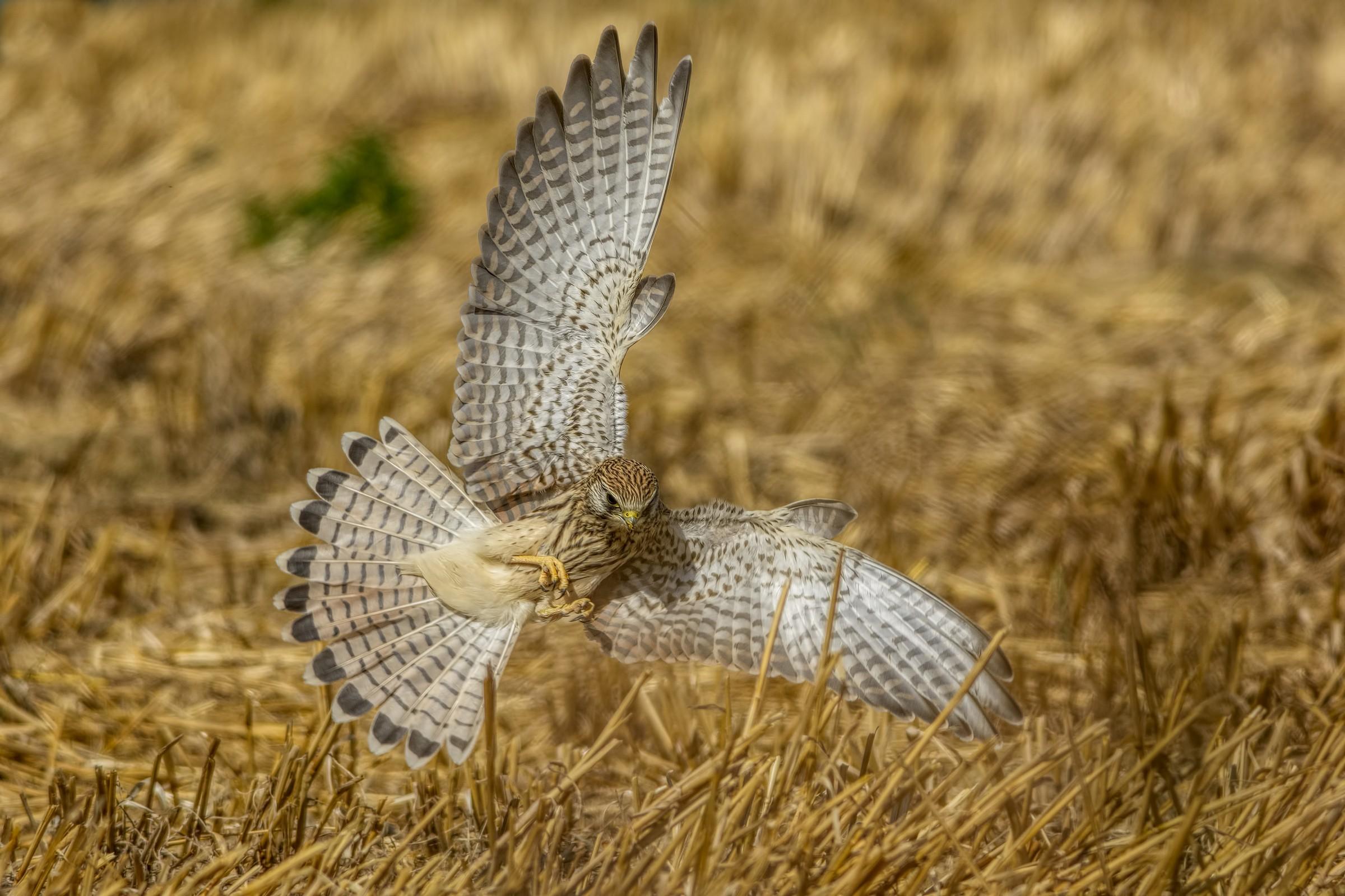 Kestrel (Falco tinnunculus)...