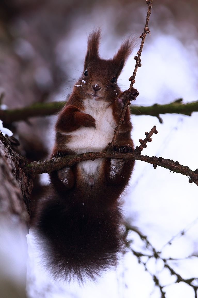 Red squirell...