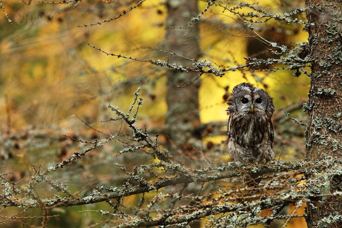 The Tawny Owl...