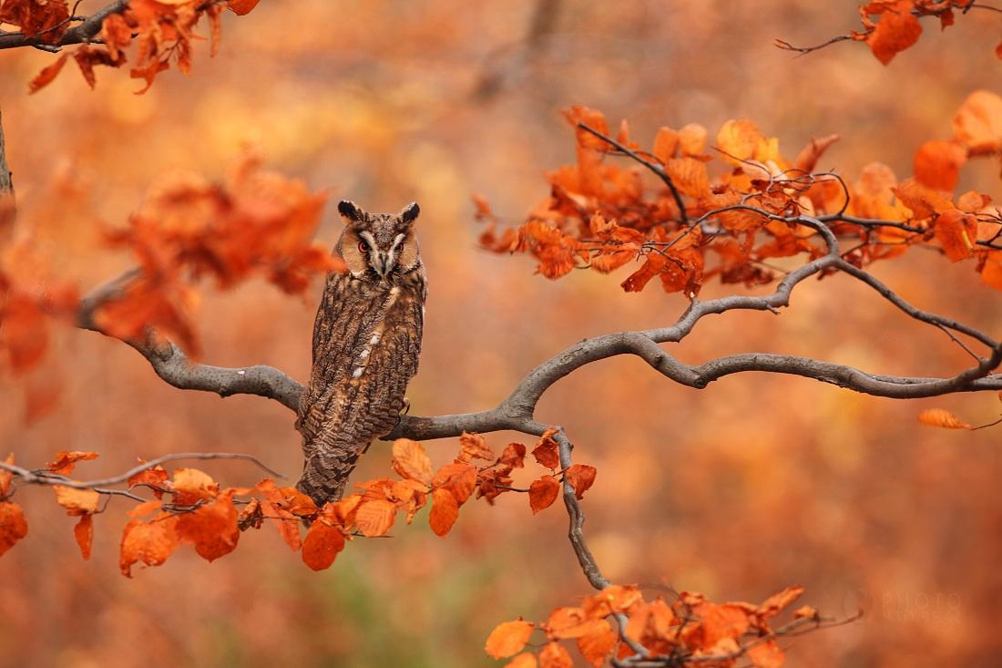 The Long-eared Owl...