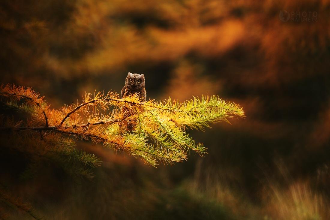 The European Scops Owl...