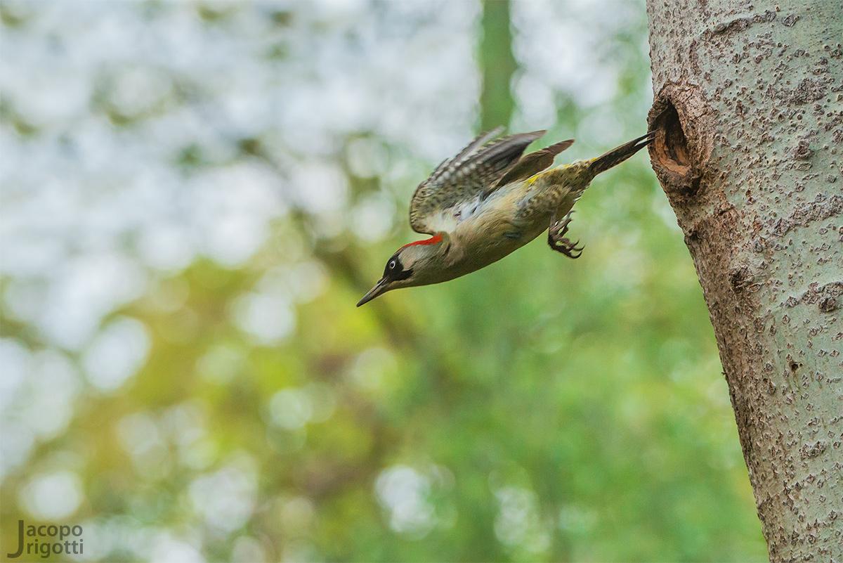 Green Woodpecker female...