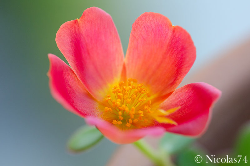Flower ianta fat...