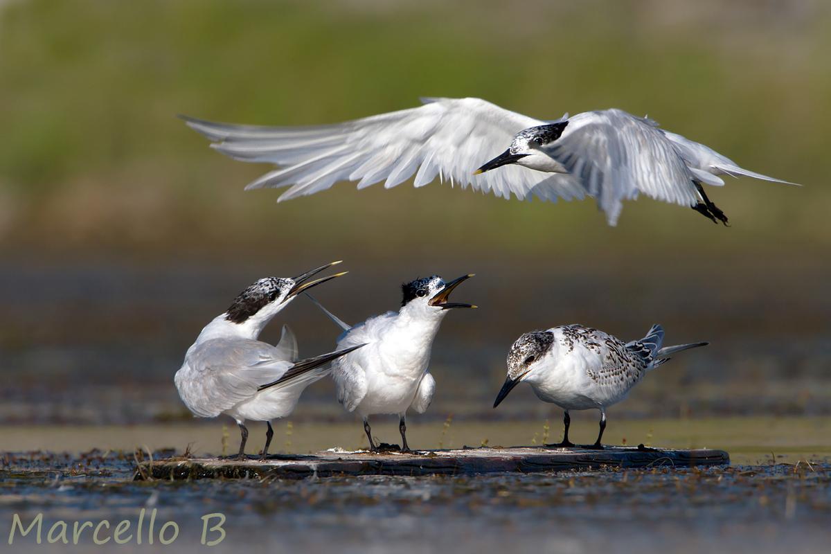 Sandwich Tern...