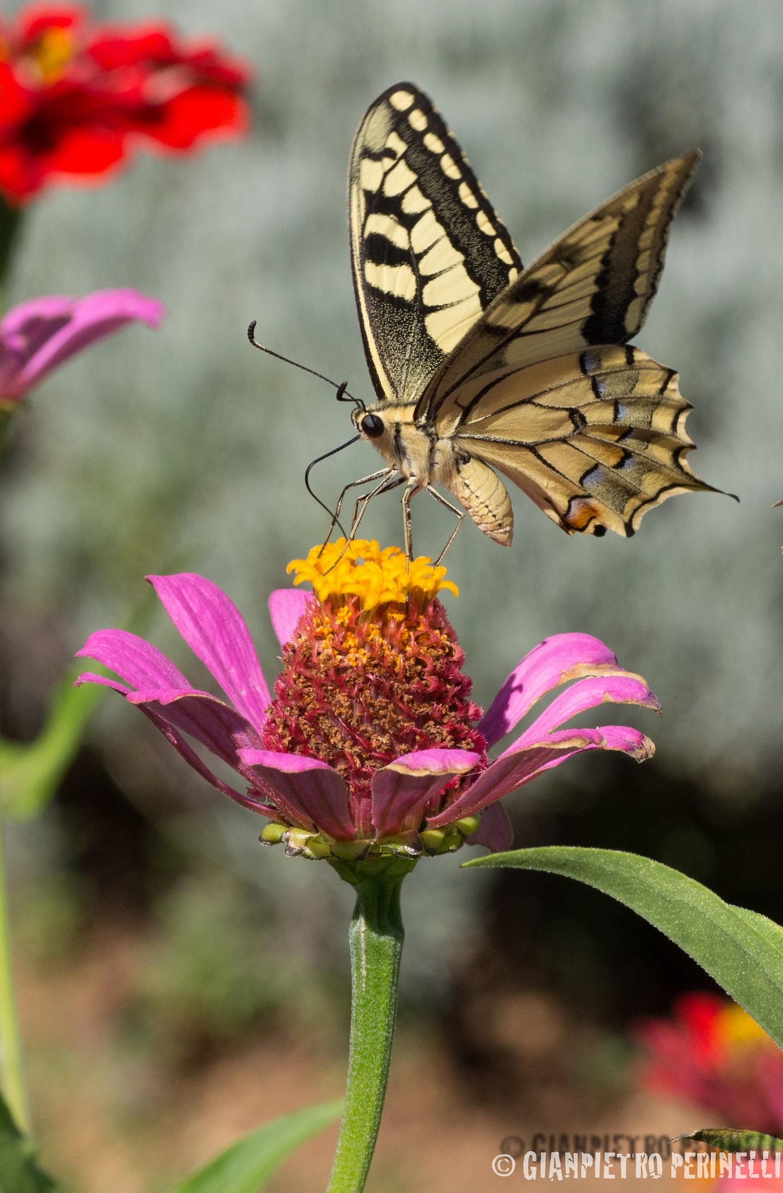 Papilio Machaon2...