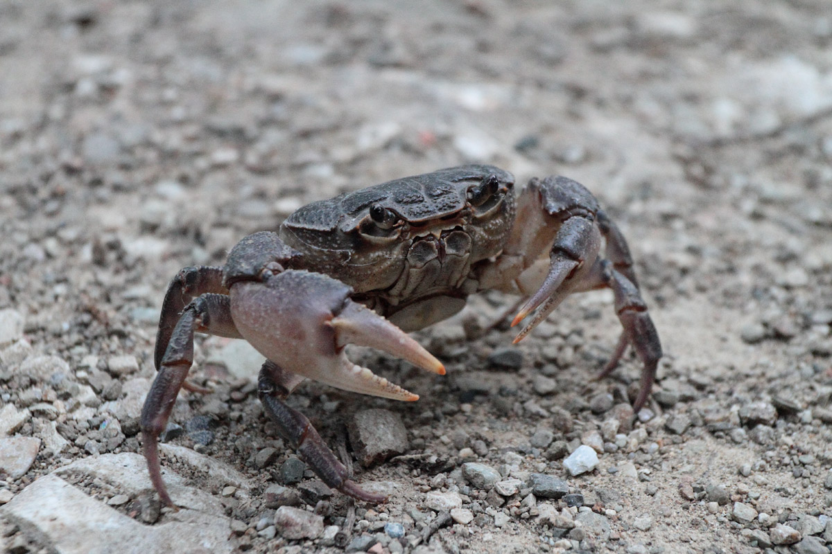 land crab...