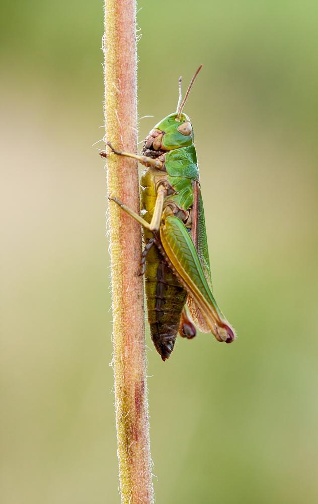 Comune Campo Grasshopper...