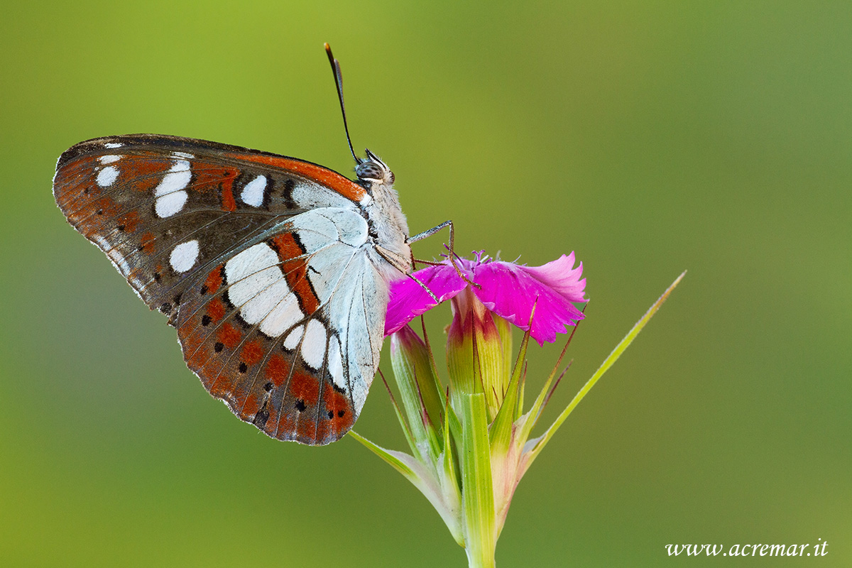 Limenitis reducta...