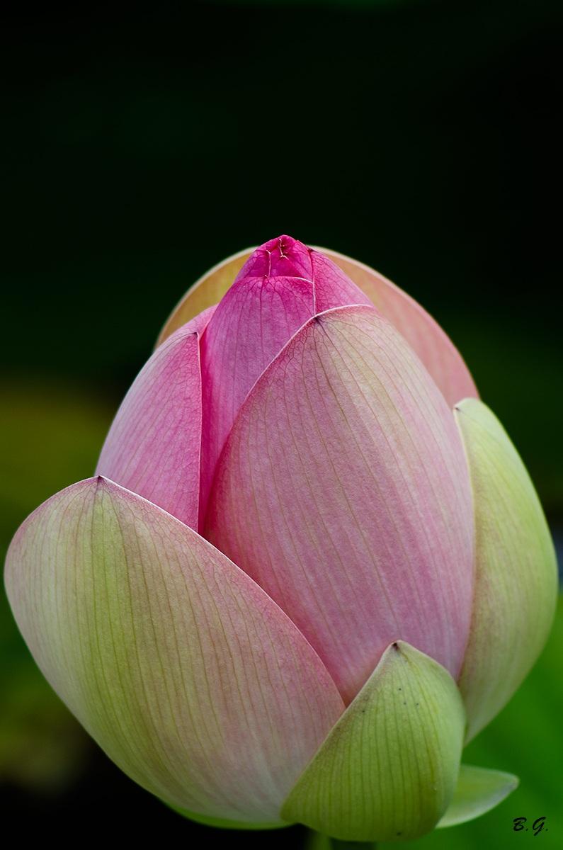The lotus flower...