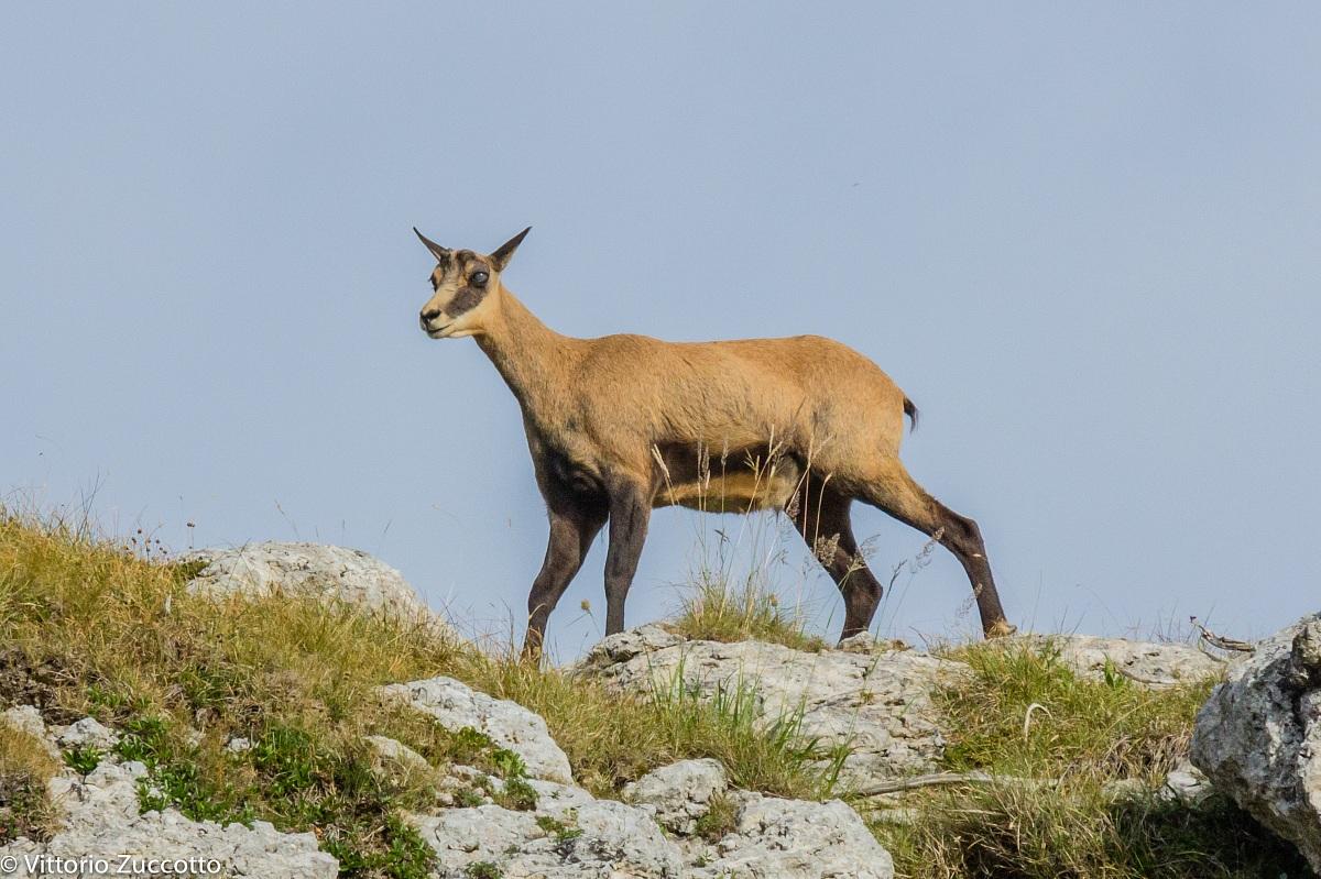 Roe deer in St. George (vr)...