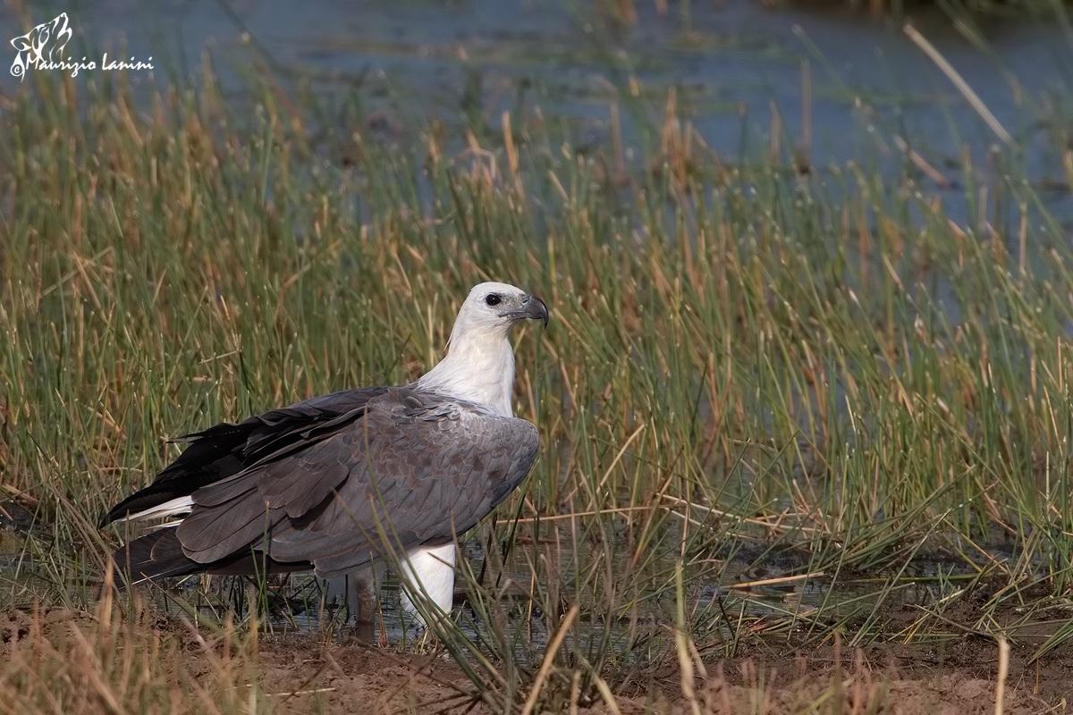Bellied Sea Eagle, adult...