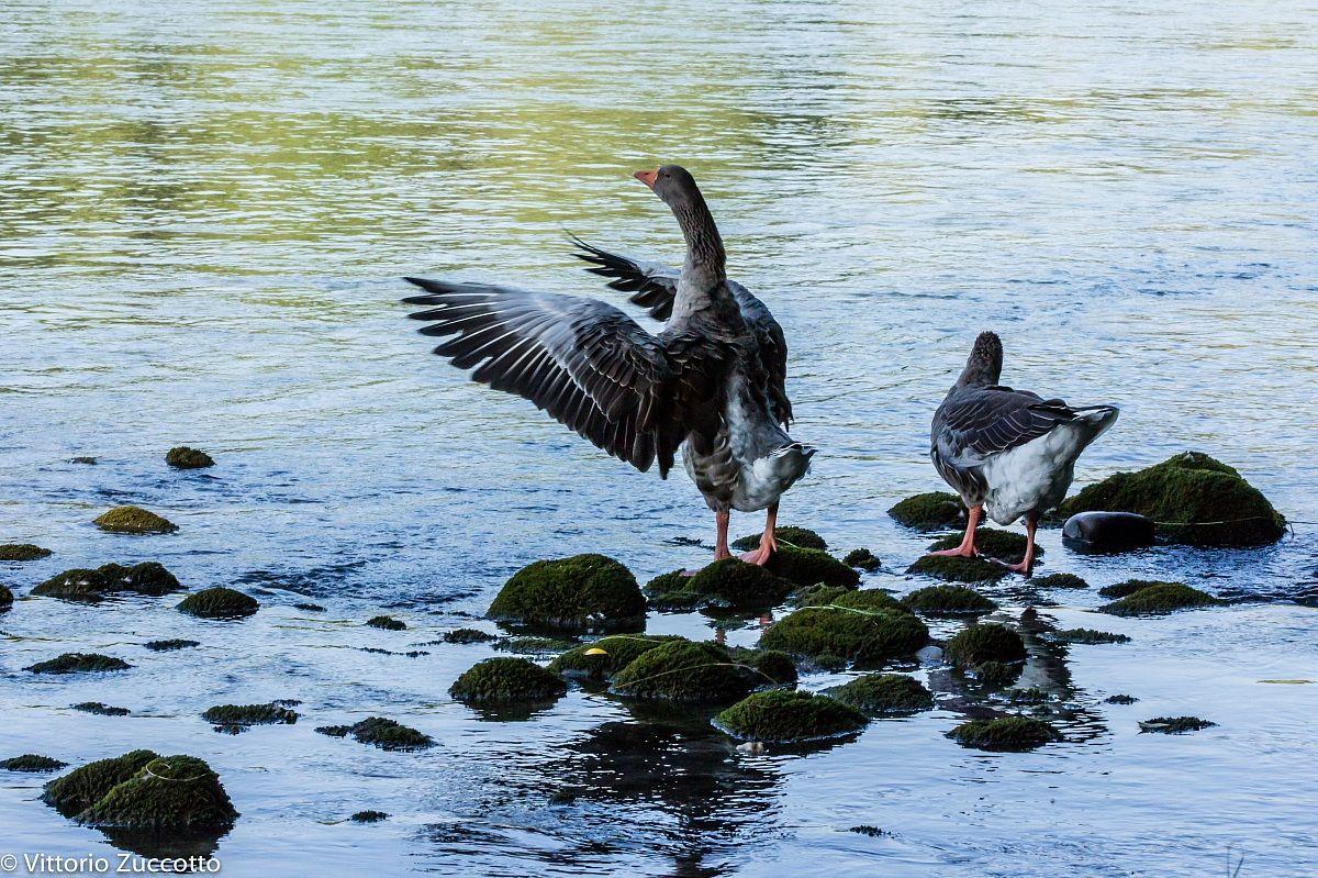 Swan on the Adige...