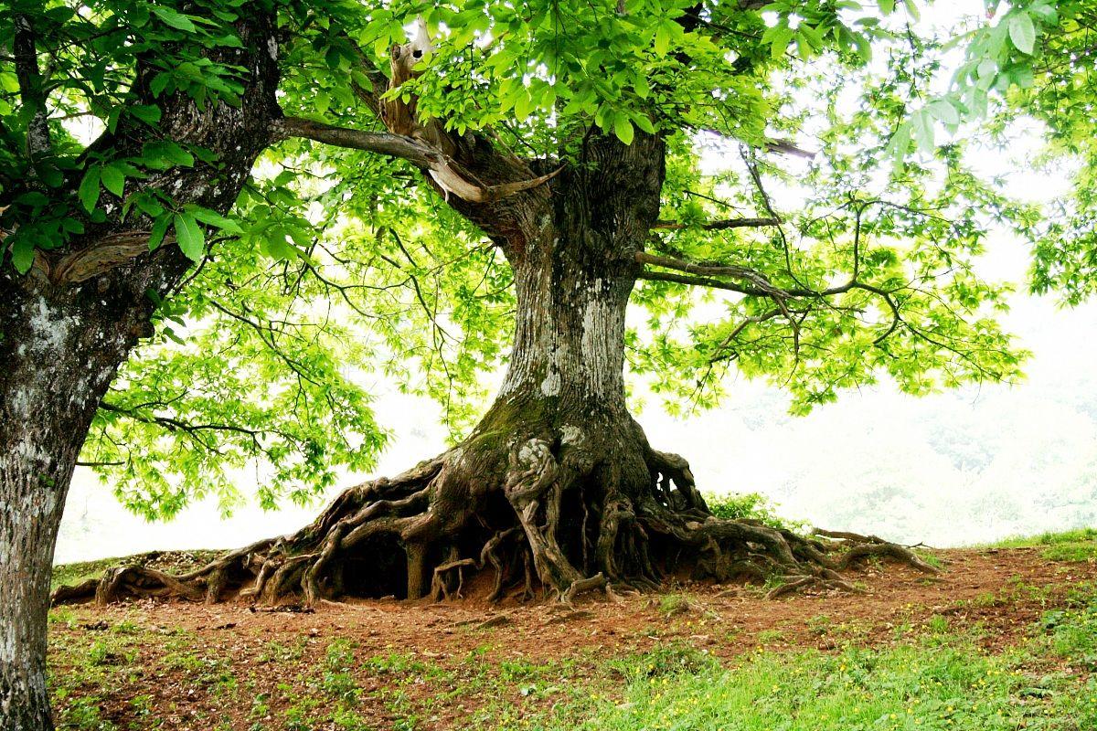 radici albero di castagno secolare juzaphoto
