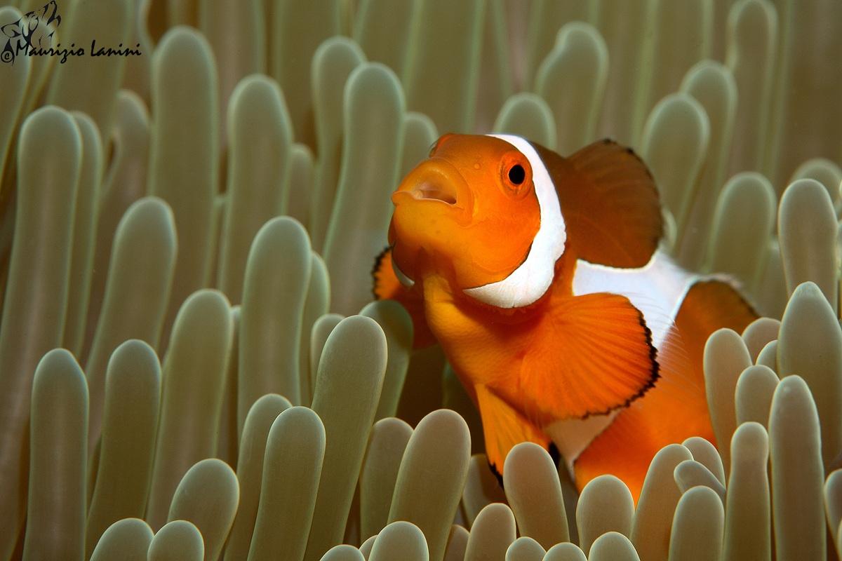 Pesce pagliaccio juzaphoto for Pesce pagliaccio foto