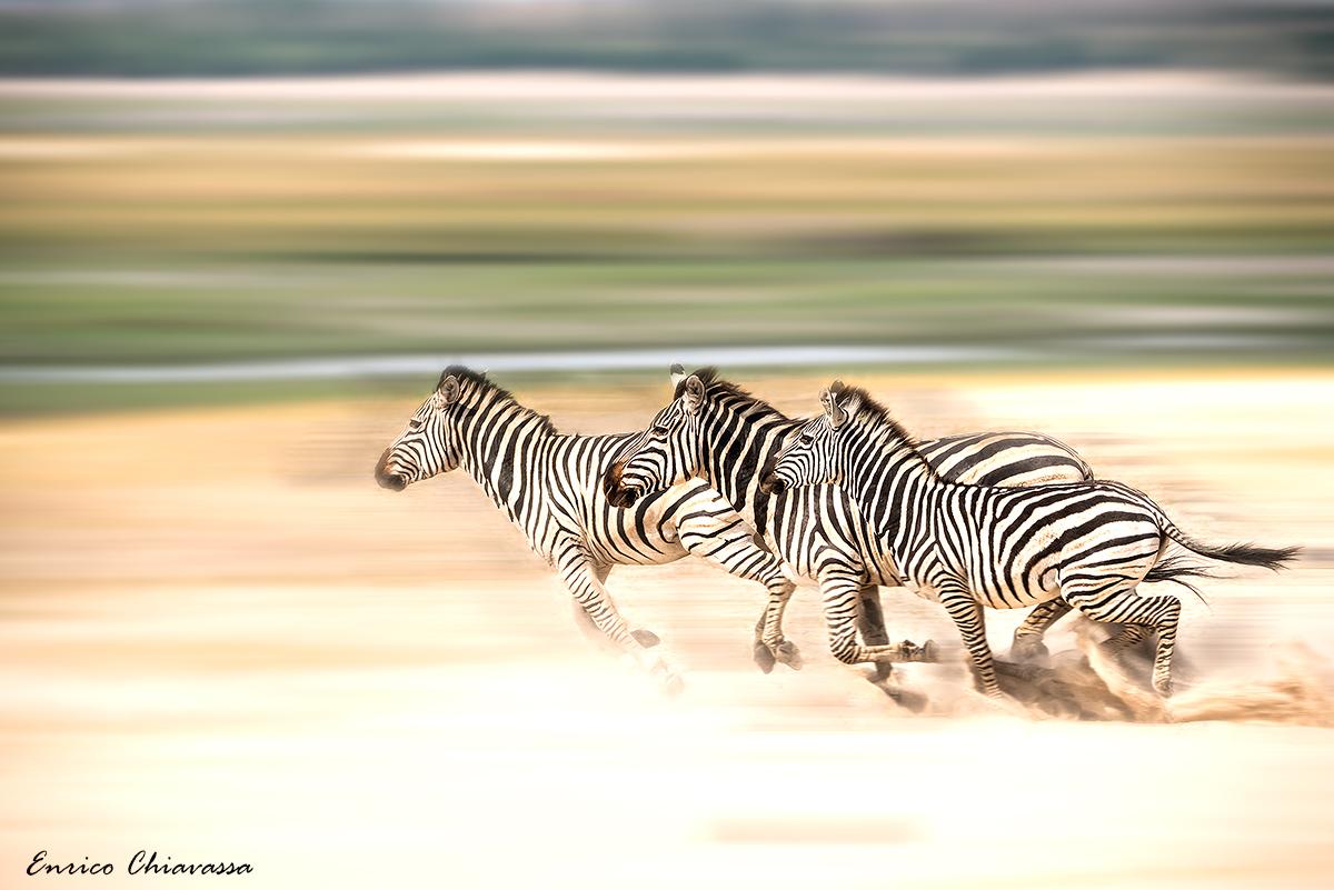 Chobe: zebre in fuga...