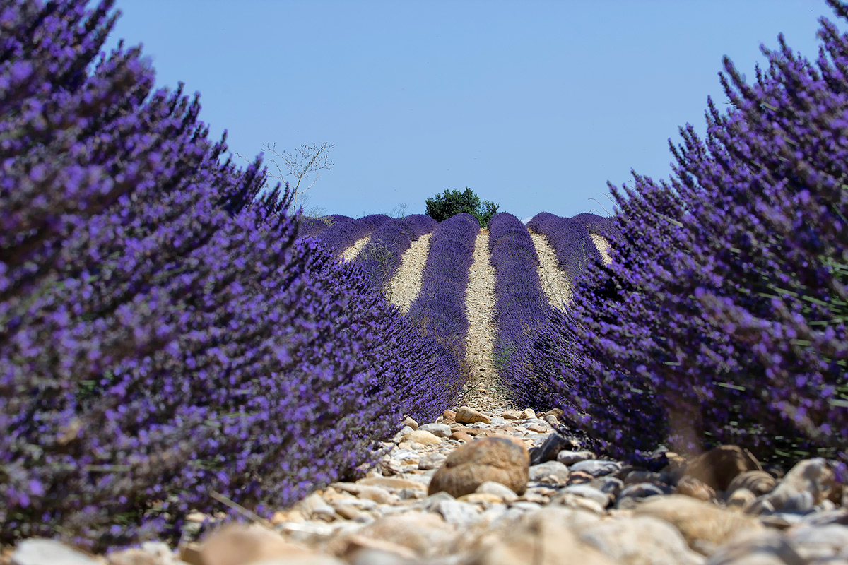 The lavender fields in Valensole...