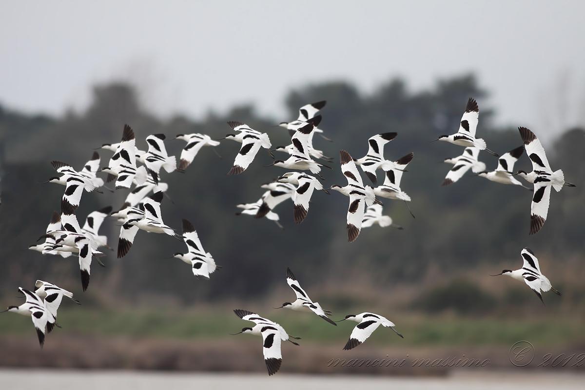 Avocets (Recurvirosrta avosetta)...