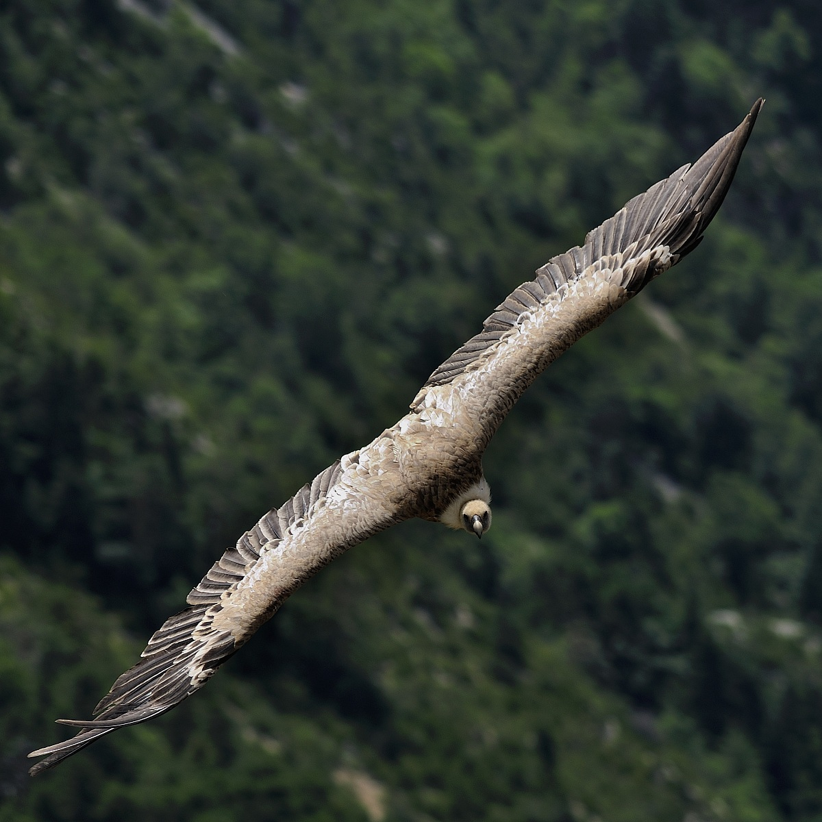 Griffon Vulture - Gorges du Verdon...