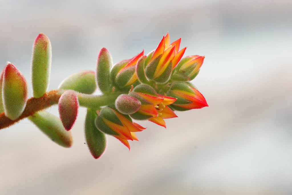 flower of a cactus plant...