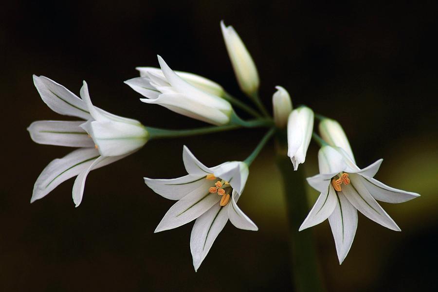 Allium triquetum...