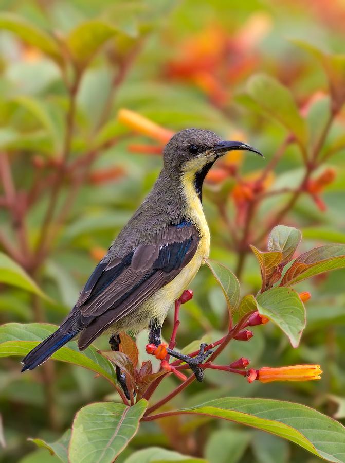 Purple Sunbird: Eclipse Male....
