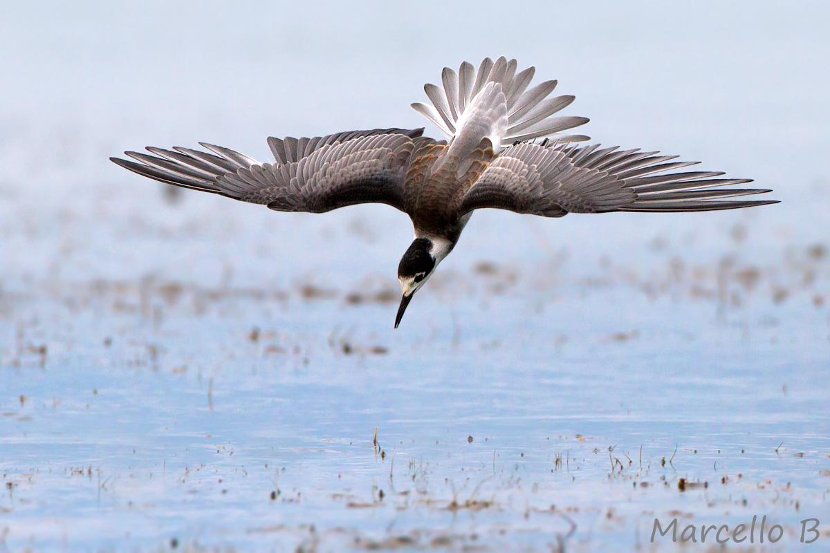 Black Tern...